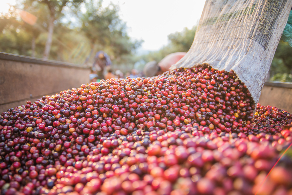 Coffee beans pouring out of a bag and onto a pile of more coffee beans